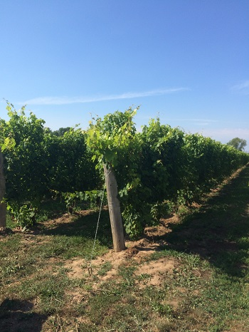 Grape vines at North 42 Degrees Winery.
